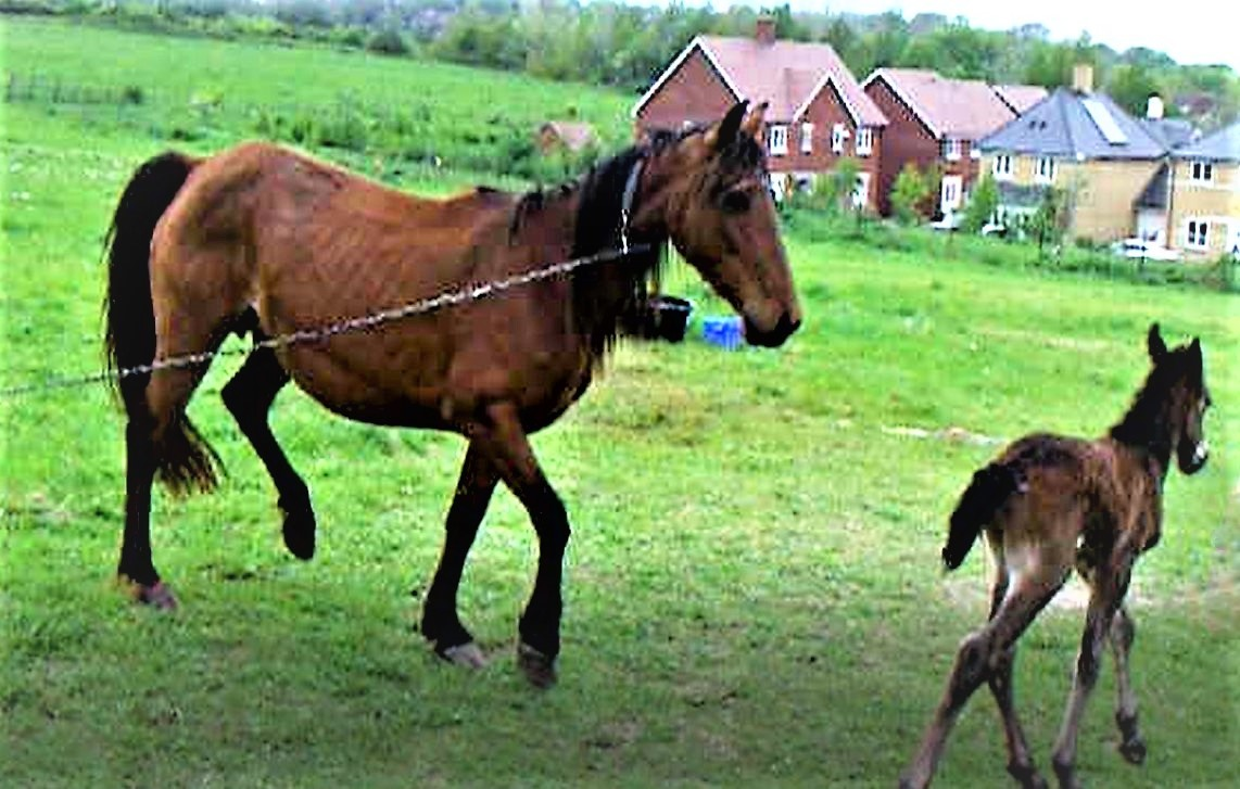 Horse charity launches Campaign to end suffering of tethered horses