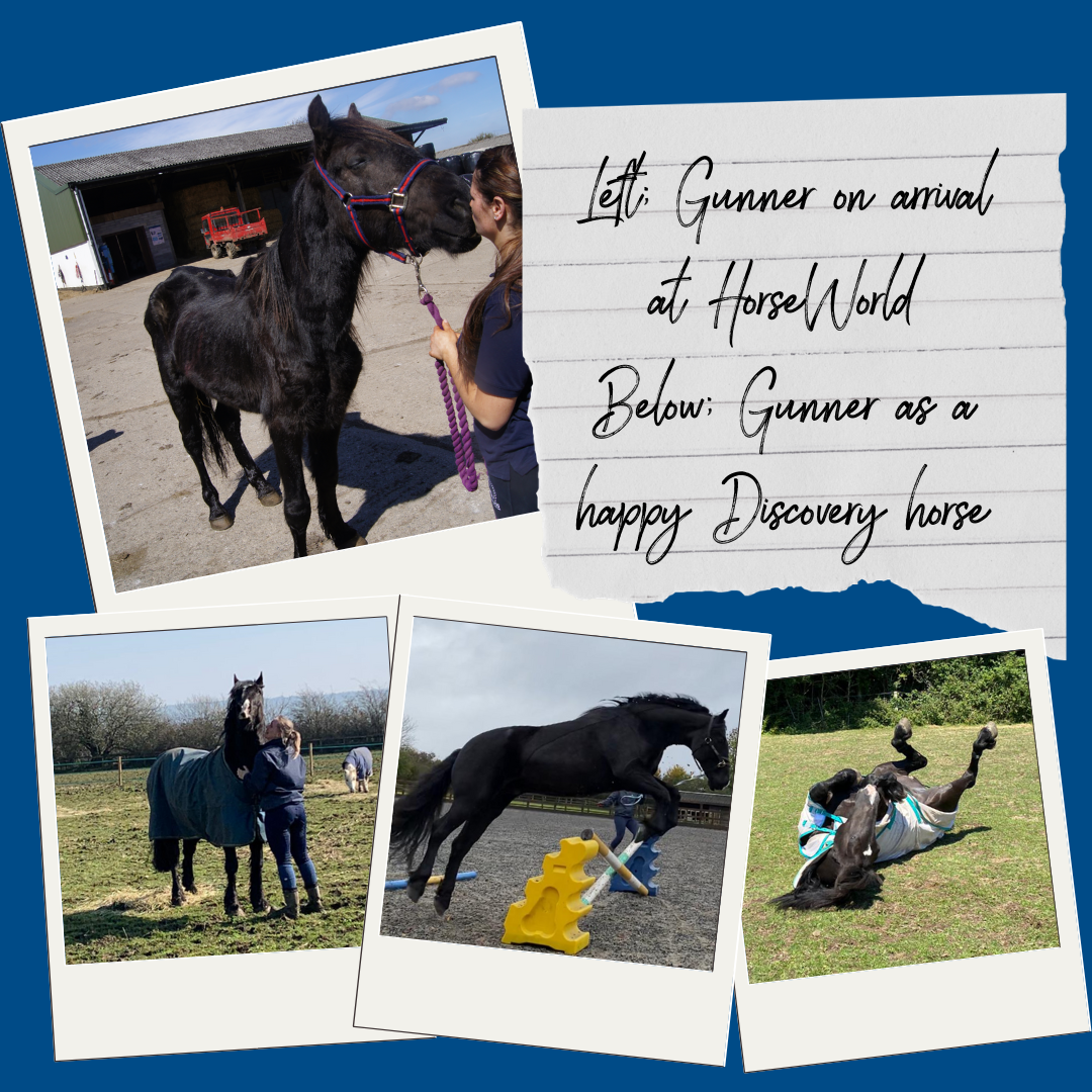 Left; Gunner on arrival at HorseWorld Below; Gunner as a happy Discovery horse.png